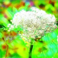 Angelica Aromatherapy Essential Oil