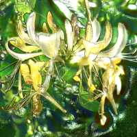Honeysuckle Aromatherapy Essential Oil